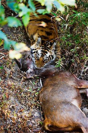 Tiger with Sambar Deer Kill, Bandhavgarh National Park, Madhya Pradesh, India Stock Photo - Rights-Managed, Code: 700-00800851