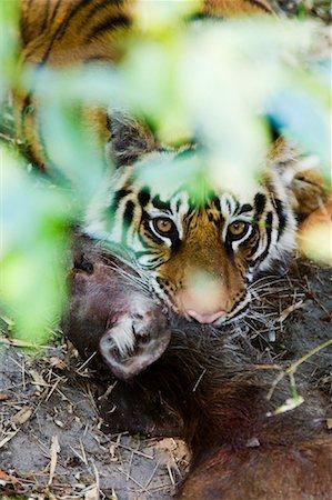 Tiger with Sambar Deer Kill, Bandhavgarh National Park, Madhya Pradesh, India Stock Photo - Rights-Managed, Code: 700-00800852