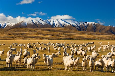 Sheep and Hawkdun Range, Ranfurly, South Island, New Zealand Stock Photo - Rights-Managed, Code: 700-00917896
