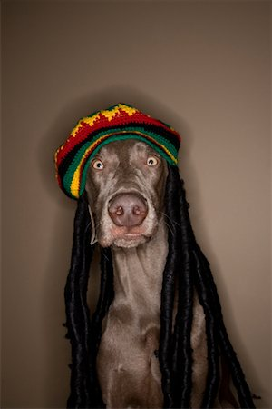 Dog Wearing Rasta Hat Stock Photo - Rights-Managed, Code: 700-00912300