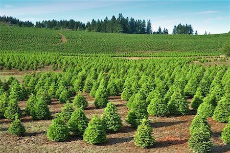 Christmas Tree Farm, Washington, USA Stock Photo - Rights-Managed, Code: 700-00982914