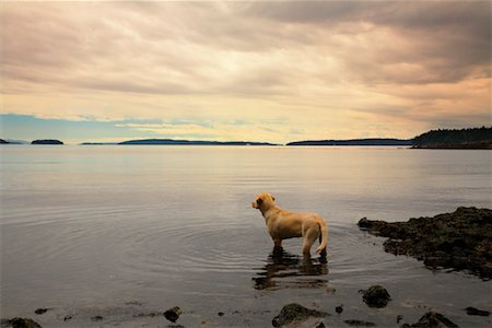 Dog Looking Over Ocean, Salt Spring Island, British Columbia, Canada Stock Photo - Rights-Managed, Code: 700-01014524