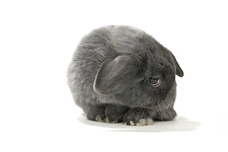 Lop-Eared Rabbit Stock Photo - Rights-Managed, Code: 700-01014834
