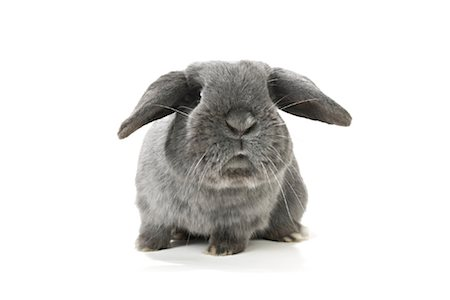 Lop-Eared Rabbit Stock Photo - Rights-Managed, Code: 700-01014835