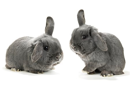 Two Lop-Eared Rabbits Stock Photo - Rights-Managed, Code: 700-01014836