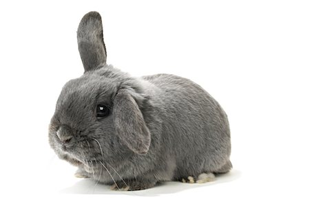 Lop-Eared Rabbit Stock Photo - Rights-Managed, Code: 700-01014837