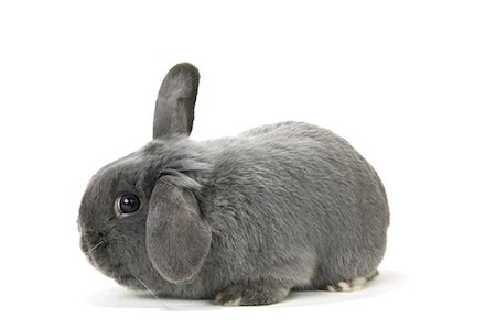 Lop-Eared Rabbit Stock Photo - Rights-Managed, Code: 700-01014838