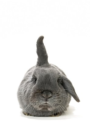 Lop-Eared Rabbit Stock Photo - Rights-Managed, Code: 700-01014839