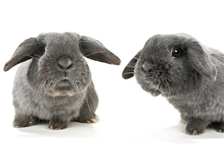 Two Lop-Eared Rabbits Stock Photo - Rights-Managed, Code: 700-01014830