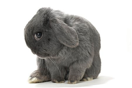 Lop-Eared Rabbit Stock Photo - Rights-Managed, Code: 700-01014831