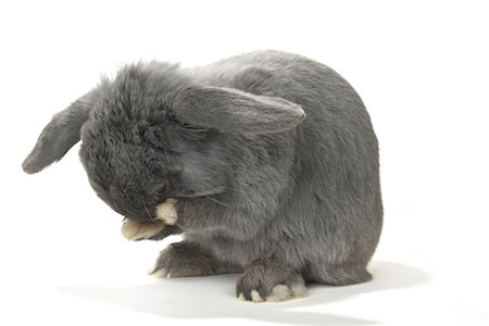 Lop-Eared Rabbit Cleaning Face Stock Photo - Rights-Managed, Code: 700-01014832