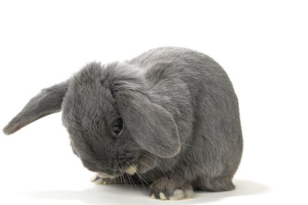 Lop-Eared Rabbit Stock Photo - Rights-Managed, Code: 700-01014833