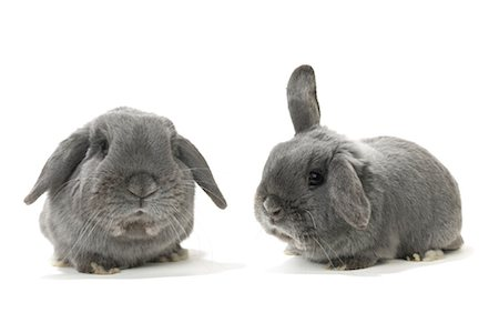 Two Lop-Eared Rabbits Stock Photo - Rights-Managed, Code: 700-01014840
