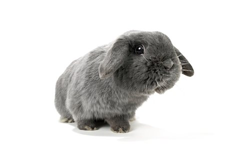 Lop-Eared Rabbit Stock Photo - Rights-Managed, Code: 700-01014841