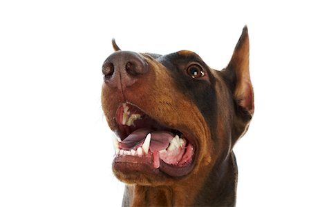 Doberman Pinscher Stock Photo - Rights-Managed, Code: 700-01072356