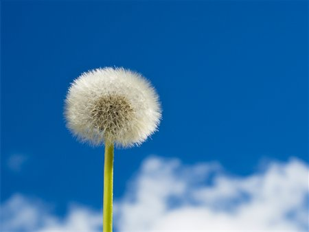 Dandelion Stock Photo - Rights-Managed, Code: 700-01083907
