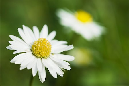 Close-Up of Daisy Stock Photo - Rights-Managed, Code: 700-01083911