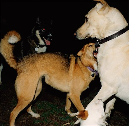 Dogs Stock Photo - Rights-Managed, Code: 700-01260104