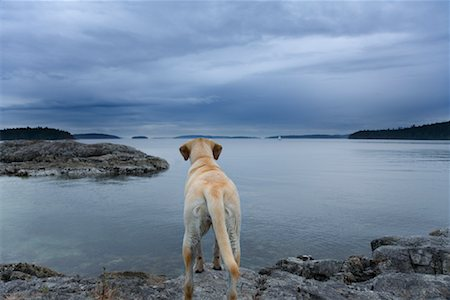 Dog Looking at Lake, Salt Spring Island, British Columbia, Canada Stock Photo - Rights-Managed, Code: 700-01344469