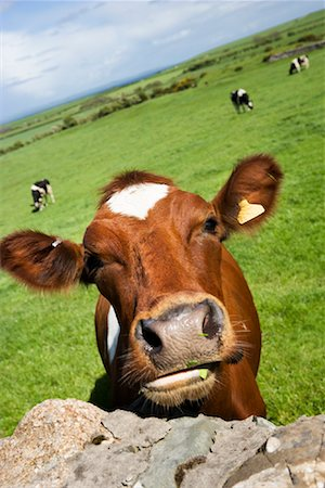 Cow, Dumfries and Galloway, Scotland, United Kingdom Stock Photo - Rights-Managed, Code: 700-01538892