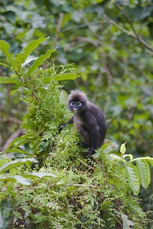 Portrait of Dusky Leaf Monkey, Mount Raya, Langkawi Island, Malaysia Stock Photo - Rights-Managed, Code: 700-01716735