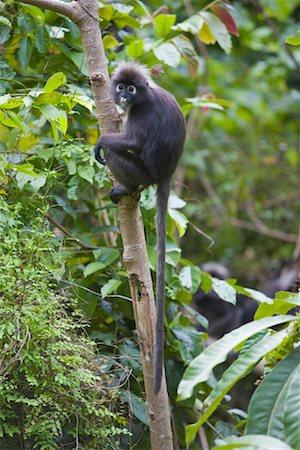 Portrait of Dusky Leaf Monkey, Mount Raya, Langkawi Island, Malaysia Stock Photo - Rights-Managed, Code: 700-01716736