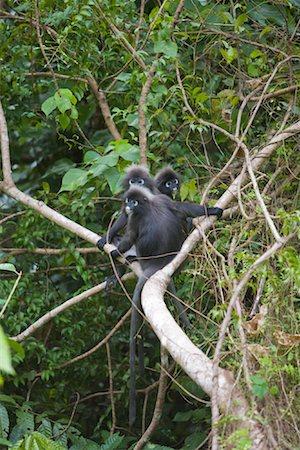 Portrait of Dusky Leaf Monkeys, Mount Raya, Langkawi Island, Malaysia Stock Photo - Rights-Managed, Code: 700-01716737