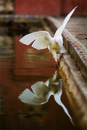 Dove, Alcazar of Seville, Seville, Andalucia, Spain Stock Photo - Rights-Managed, Code: 700-01879844