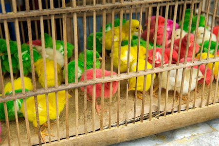 Dyed Chicks at Pasar Ngasem, Yogyakarta, Central Java, Java, Indonesia Stock Photo - Rights-Managed, Code: 700-01954898