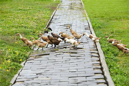 Flock of Ducks Crossing Walkway, Dieng Plateau, Central Java, Java, Indonesia Stock Photo - Rights-Managed, Code: 700-01954924