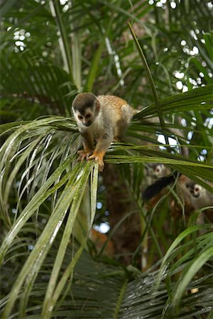 Monkeys in Tree, Manuel Antonio National Park, Puntarenas Province, Costa Rica Stock Photo - Rights-Managed, Code: 700-01955529
