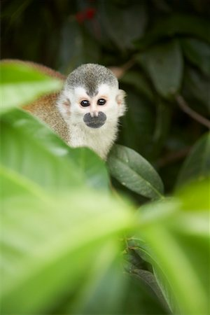 Monkey in Tree, Manuel Antonio National Park, Puntarenas Province, Costa Rica Stock Photo - Rights-Managed, Code: 700-01955531