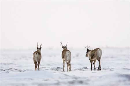reindeer in snow - Caribou, Wapusk National Park, Manitoba, Canada Stock Photo - Rights-Managed, Code: 700-02010800