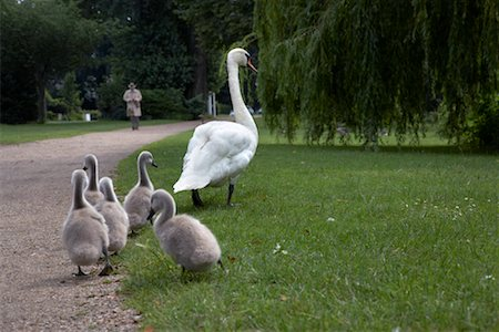 Mother Swan and Babies, Hamburg, Germany Stock Photo - Rights-Managed, Code: 700-02038189
