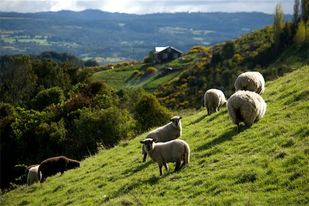 Sheep Grazing on Hillside, Chiloe Island, Chile Stock Photo - Rights-Managed, Code: 700-02046904