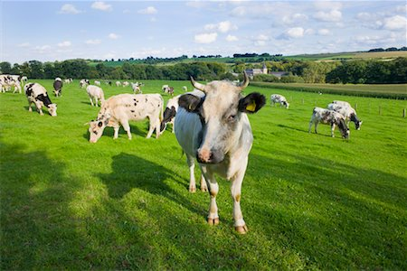 Cattle in Pasture, Limburg, Netherlands Stock Photo - Rights-Managed, Code: 700-02257899