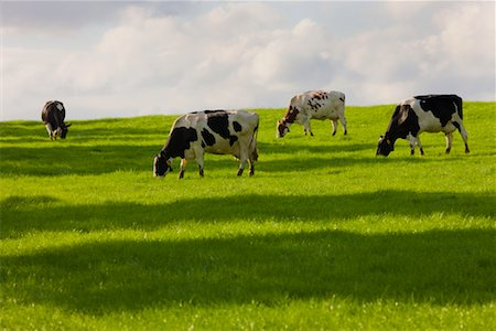 Cattle Grazing in Pasture, Limburg, Netherlands Stock Photo - Rights-Managed, Code: 700-02257901