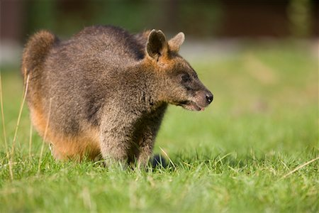 Portrait of Red-necked Wallaby Stock Photo - Rights-Managed, Code: 700-02289170