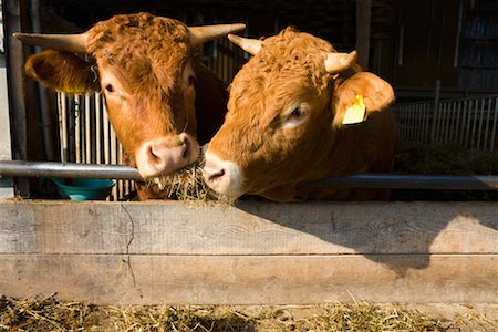 Pair of Cows on Organic Farm Stock Photo - Rights-Managed, Code: 700-02289371