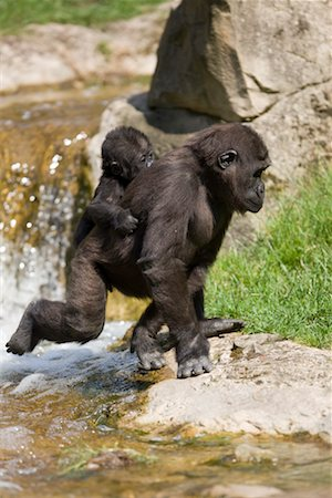 Eastern Lowland Gorilla Carrying Baby on Back Stock Photo - Rights-Managed, Code: 700-02315124
