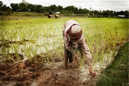 Planting, Paddy Fields, Cambodia Stock Photo - Rights-Managed, Code: 700-02593811
