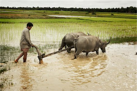 plow - Plowing, Paddy Fields, Cambodia Stock Photo - Rights-Managed, Code: 700-02593812