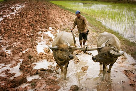 Plowing, Paddy Fields, Cambodia Stock Photo - Rights-Managed, Code: 700-02593813