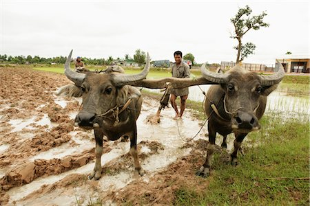 plow - Oxen Tilling Paddy Fields, Cambodia Stock Photo - Rights-Managed, Code: 700-02638077