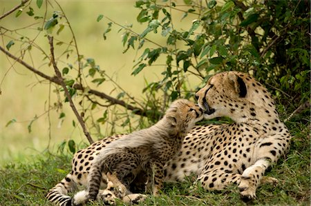 Cheetah Mother and Cub Stock Photo - Rights-Managed, Code: 700-02659716