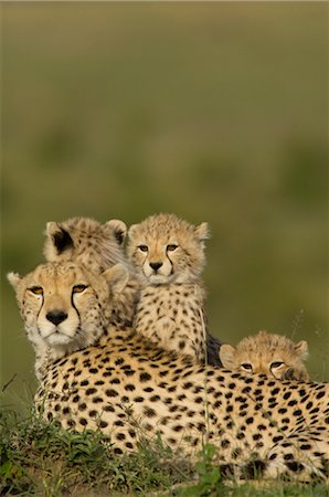 Cheetah Family on Termite Mound Stock Photo - Rights-Managed, Code: 700-02659725
