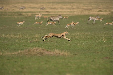 Cheetah Chasing Gazelle and Zebra Stock Photo - Rights-Managed, Code: 700-02659770