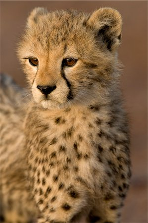 endangered animal - Portrait of Baby Cheetah Stock Photo - Rights-Managed, Code: 700-02659784