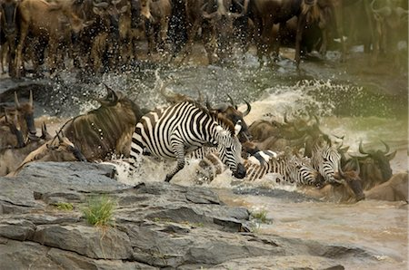 Zebras and Wildebeest Crossing the Mara River, Africa Stock Photo - Rights-Managed, Code: 700-02659802