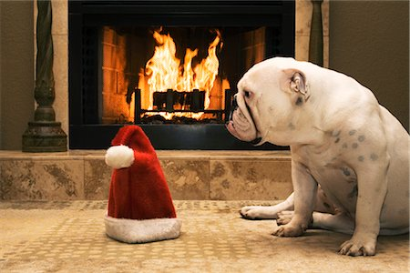 dog in heat - English Bulldog Sitting in Front of Fireplace, Looking at Santa Hat Stock Photo - Rights-Managed, Code: 700-02659926